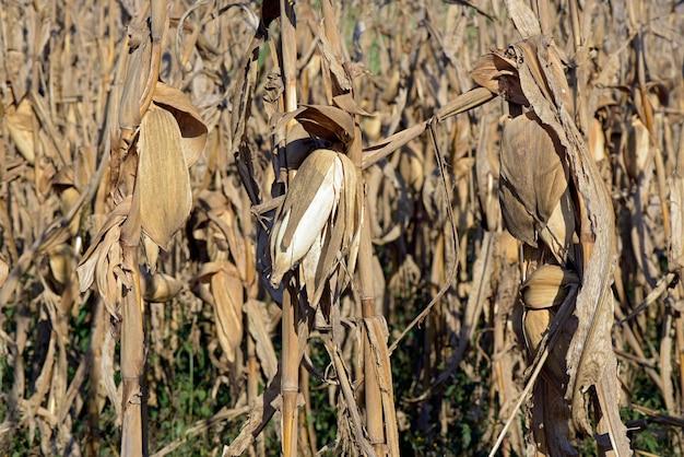 Closeup de plantas de milho com orelha, pronta para a colheita