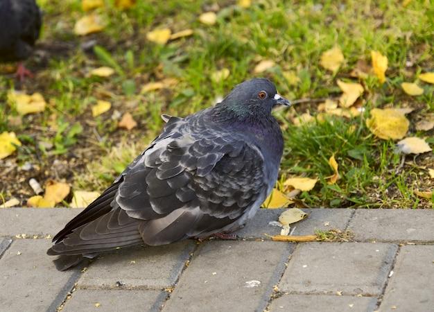 Closeup de pombo na calçada contra o fundo de grama verde e folhas amarelas fauna urbana