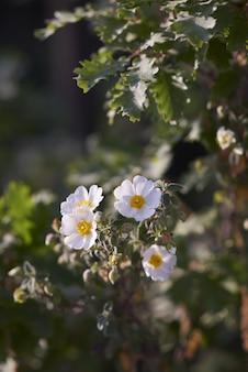 Closeup de rosa arvensis em um jardim rodeado por vegetação sob a luz solar com um fundo desfocado