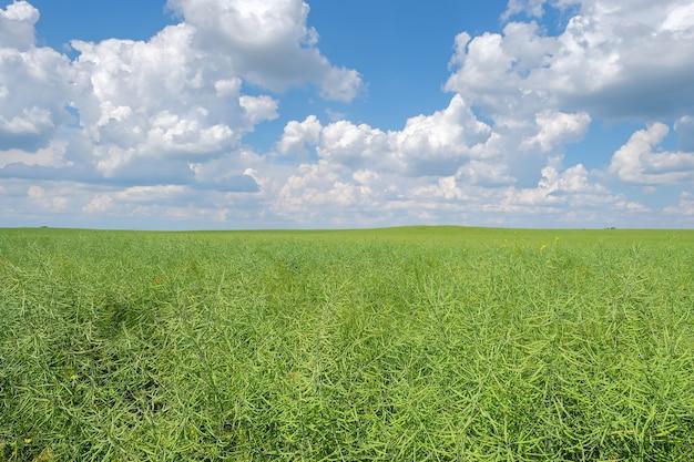 Closeup de semente de colza verde verde em um fundo de céu azul nublado