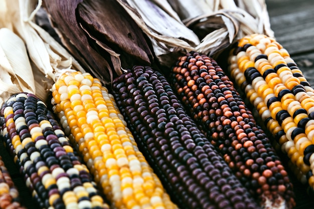 Closeup de talos de milho indiano com miolo colorido