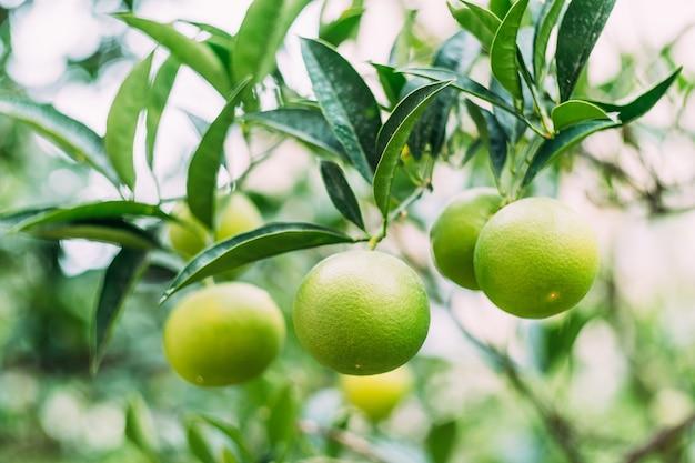 Closeup de tangerinas verdes em galhos de árvores