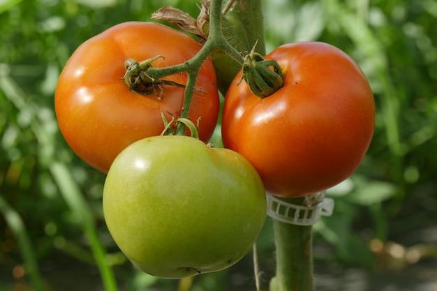 Closeup de tomates orgânicos no jardim