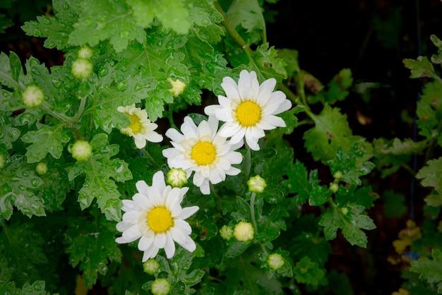 Closeup de três flores de calêndula no jardim