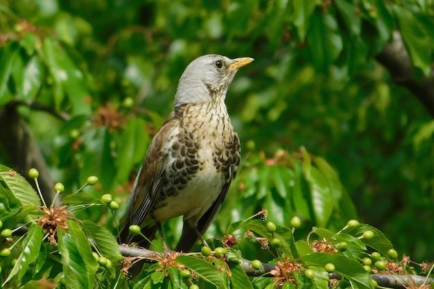 Closeup de um pardal sentado em uma árvore de cereja comendo bagas