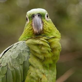 Closeup, de, um, yellownaped, papagaio, (amazona, auropalliata), arara montanha, pássaro, parque, copan, copan, ruina