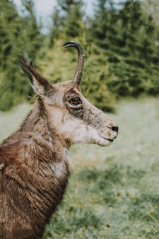 Closeup de uma camurça cantábrica também conhecido como antílope de cabra da montanha com um desfocado