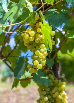 Closeup de videira madura, amarela, contra o da vinha