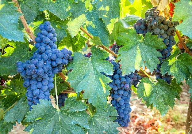 Closeup de videira madura, azul, contra o fundo do vinhedo