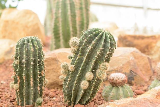 Closeup do cacto de bola dourada. echinocactus. fundo de cactos de bola dourada