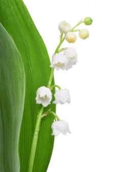 Closeup em flores de lírio do vale em branco, espaço