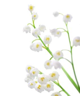 Closeup em flores de lírio do vale em branco