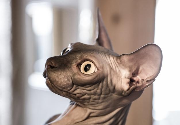 Closeup engraçado gengibre sphynx gato curiosamente olhando