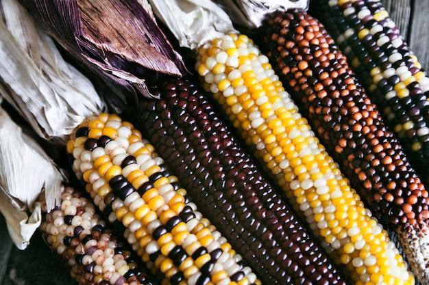 Closeup extrema de talos de milho indiano