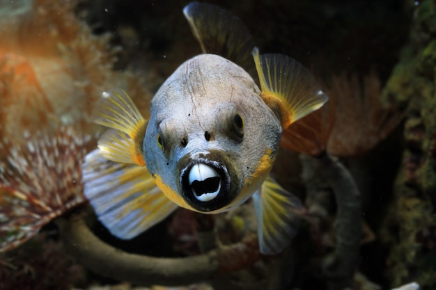 Closeup face peixe-balão, vista frontal