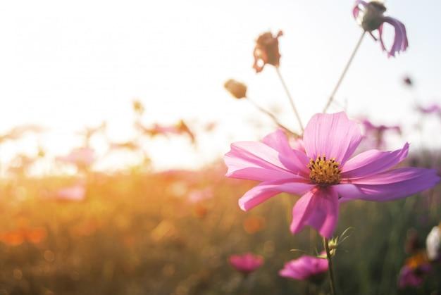 Closeup flor cosmos e luz solar natural