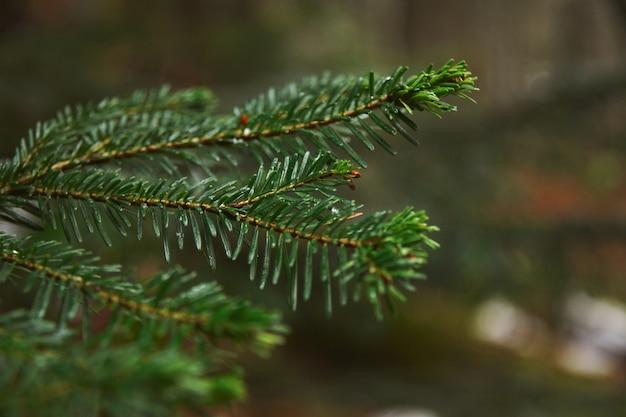 Closeup foco de um pequeno galho de pinheiro na floresta em um dia chuvoso de inverno