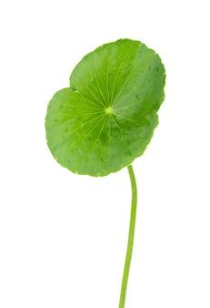 Closeup folha de gotu kola, pennywort asiática, folha asiática isolada no fundo branco