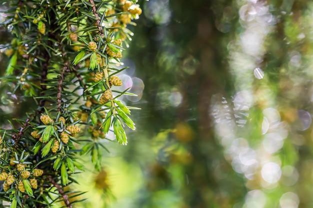 Closeup folhas da árvore conífera perene juniperus communis horstmann após o bokeh da chuva