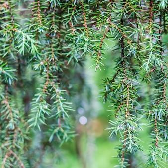 Closeup folhas de árvore conífera perene juniperus communis horstmann bokeh com reflexo de luz