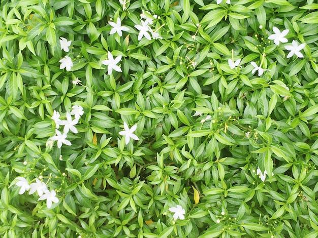 Closeup folhas verdes da planta no jardim com fundo de textura pequena flor branca