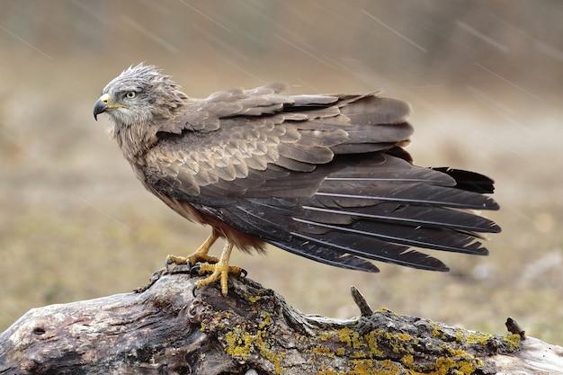 Closeup foto de foco seletivo de um lindo falcão