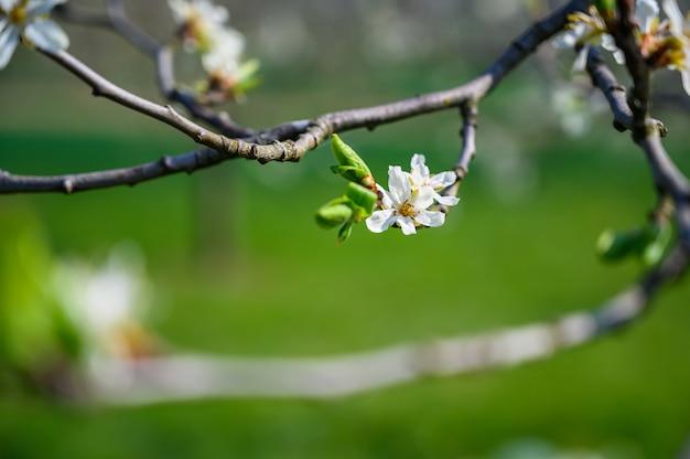 Closeup foto de foco seletivo de uma incrível flor de cerejeira sob a luz do sol