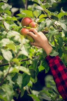 Closeup foto tonificada de jovem colhendo maçãs no jardim