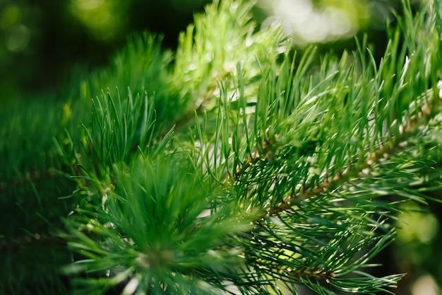 Closeup fotografia de pinheiro verde. agulhas de pinheiro desfocadas no fundo