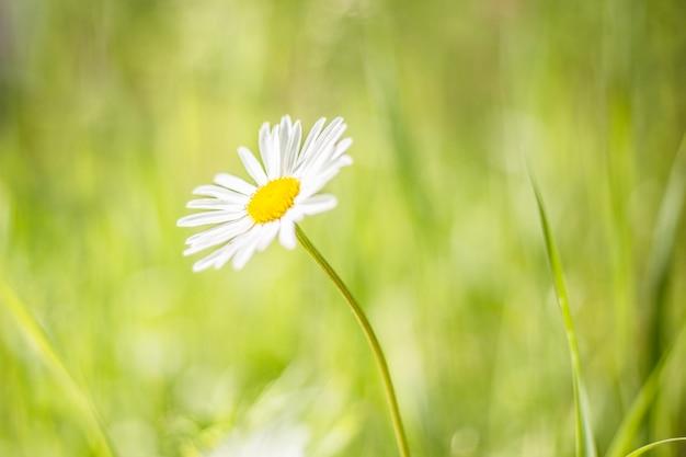 Closeup fotografia de uma flor de camomila. margarida solitária durante o pôr do sol