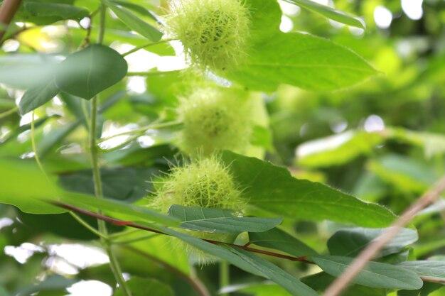 Closeup frutas peludas frescas de fétida passiflora