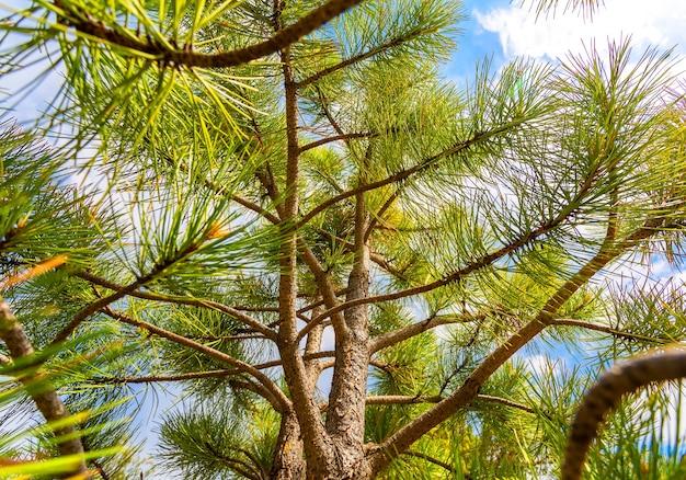 Closeup galho de pinheiro