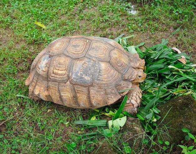 Closeup grande tartaruga marrom comendo espinafre de água doce no campo de grama verde, estilo de vida animal na natureza