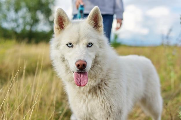 Closeup jovem cachorro husky branco com língua de fora e olhos azuis andando