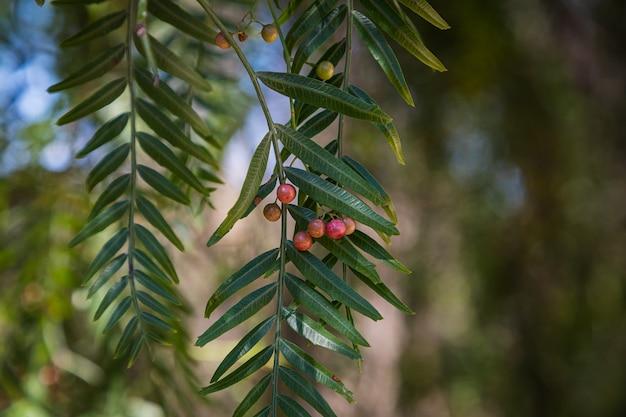 Closeup linda árvore com frutos de pimenta-do-reino cercada por muitas folhas verdes brilhantes, foco suave