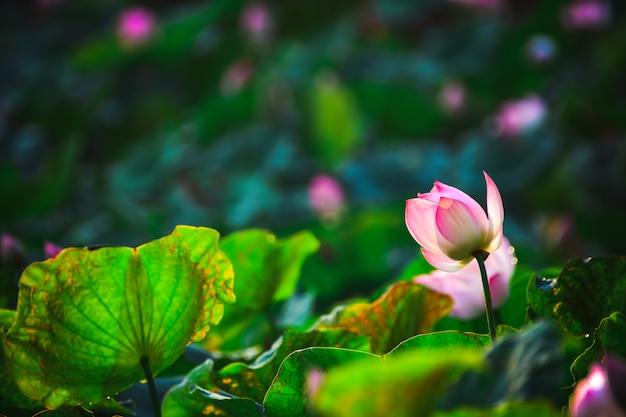 Closeup linda flor de lótus rosa na lagoa.