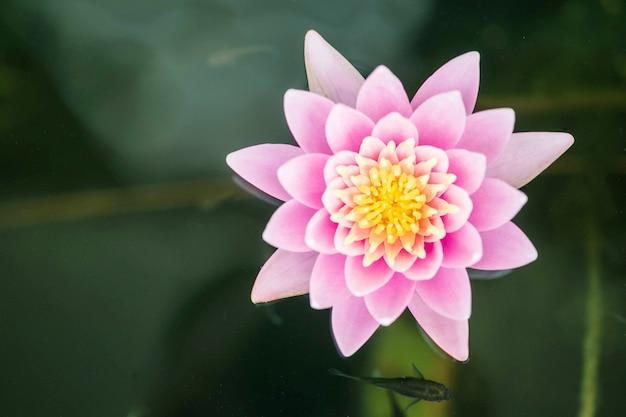 Closeup linda flor de lótus rosa no fundo da lagoa