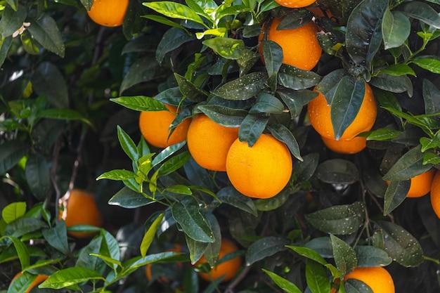 Closeup linda laranjeira com laranjas grandes e redondas cercadas por muitas folhas verdes brilhantes