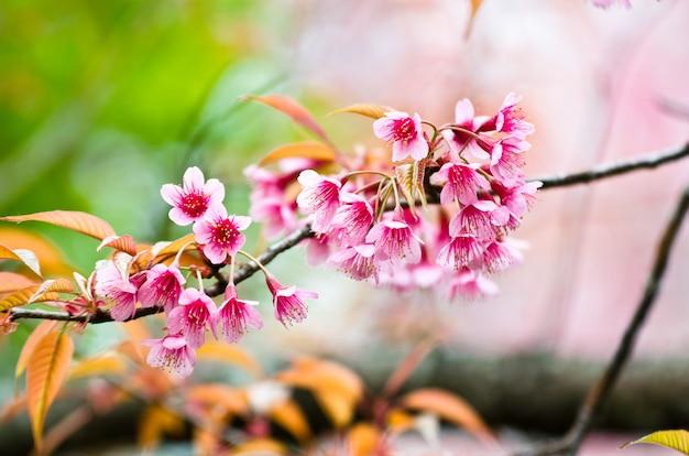 Closeup linda primavera flor de cerejeira