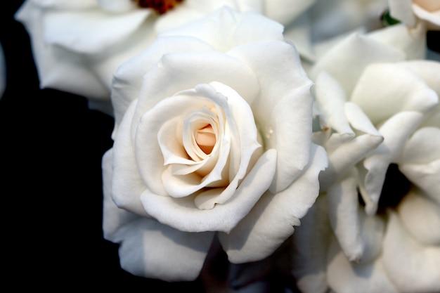 Closeup linda rosa branca fresca