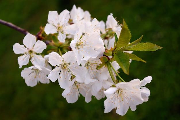 Closeup lindas flores brancas