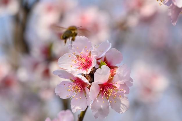 Closeup macro de flores desabrocham amendoeira rosa com abelha a voar