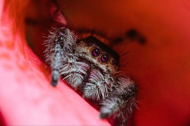 Closeup macro de uma fêmea de aranha saltadora real em uma pétala de flor