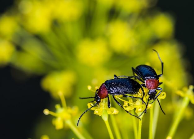 Closeup macro focus shot de cereal leaf beetles