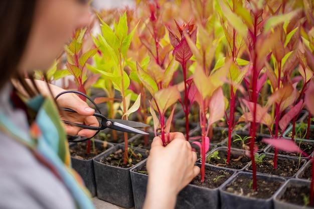 Closeup mãos de florista cortando folhas de celosia cultivada em estufa
