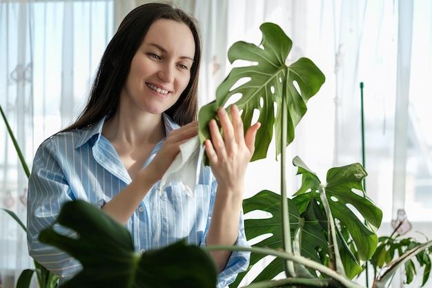 Closeup mulher de camisa azul limpa folhas de plantas monstera com guardanapo molhado, cuidando de plantas caseiras de interior