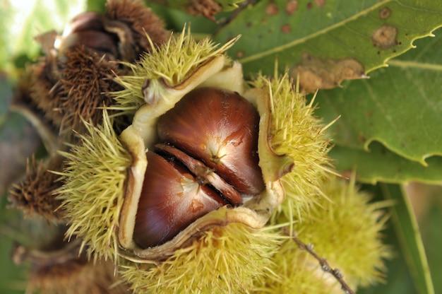 Closeup na castanha na árvore