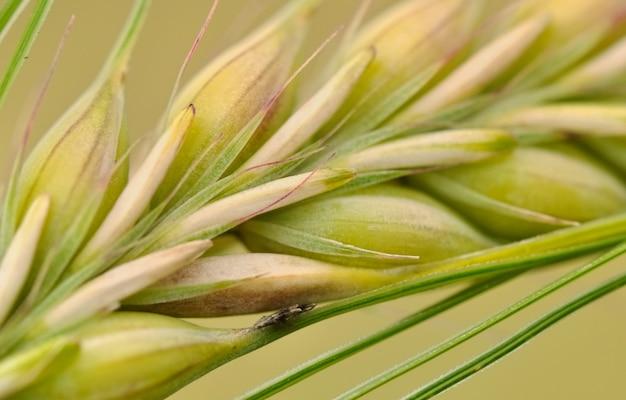 Closeup na espiga de trigo crescendo no campo