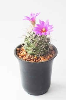 Closeup of cactus with pink flowers in pot