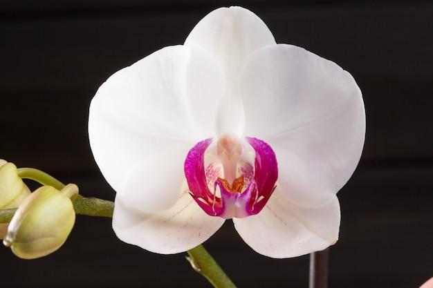 Closeup orquídea branca phalaenopsis cultivares híbrido flor